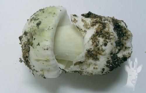 El micelio de la seta sobre las uñas de los pies el tratamiento