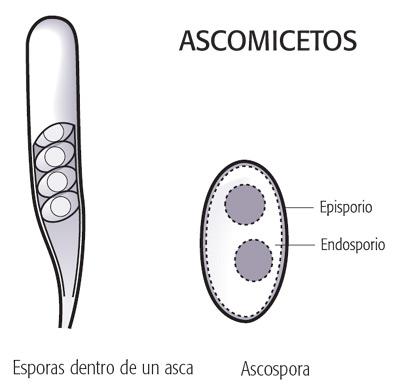 Ascomicetos